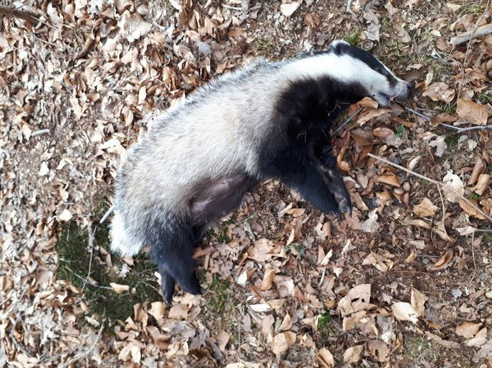 Aan de Balkerweg bij Witharen is zondag deze das doodgereden. Aan de tepels was te zien dat ze haar jongen zoogde.