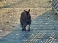 Ontsnapte wallaby huppelt rond in Culemborg en 'kan gevaarlijk zijn'