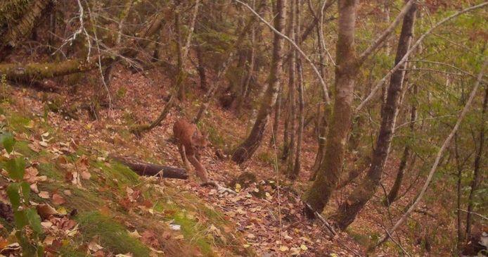De lynx werd gefotografeerd door een onbemande wildcamera in het zuiden van het land.