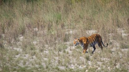 Afgelopen twee jaar elf zeldzame tijgers in Nepal omgekomen