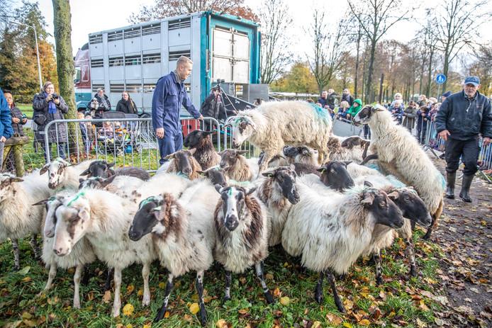 Tot april 2020 moet Zwolle het doen zonder de schapen van herder Tjitse Terpstra. Ze vertrokken dinsdagochtend naar hun winterverblijf in Friesland.