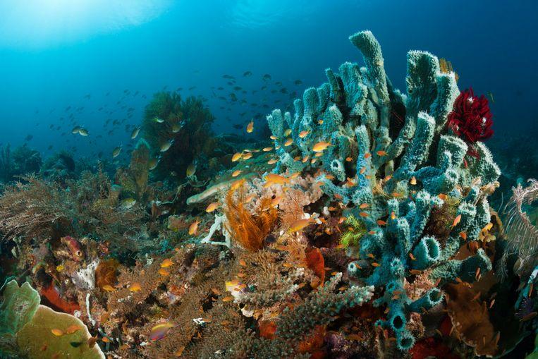 Koraalrif in Raja Ampat, West-Papua, Indonesië. Beeld Getty