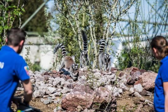 Dierenverzorgers van Burgers' Zoo kijken hoe de ringstaartmaki's zich te goed doen aan hun lokvruchten.
