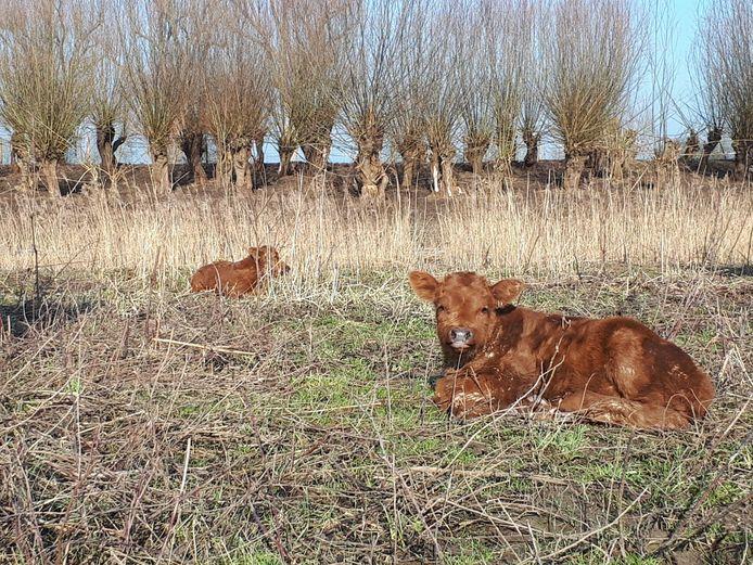 Nu het water zakt, kan het vee weer terugkeren in het Munnikenland bij Slot Loevestein. Er zijn zelfs twee kalfjes geboren.