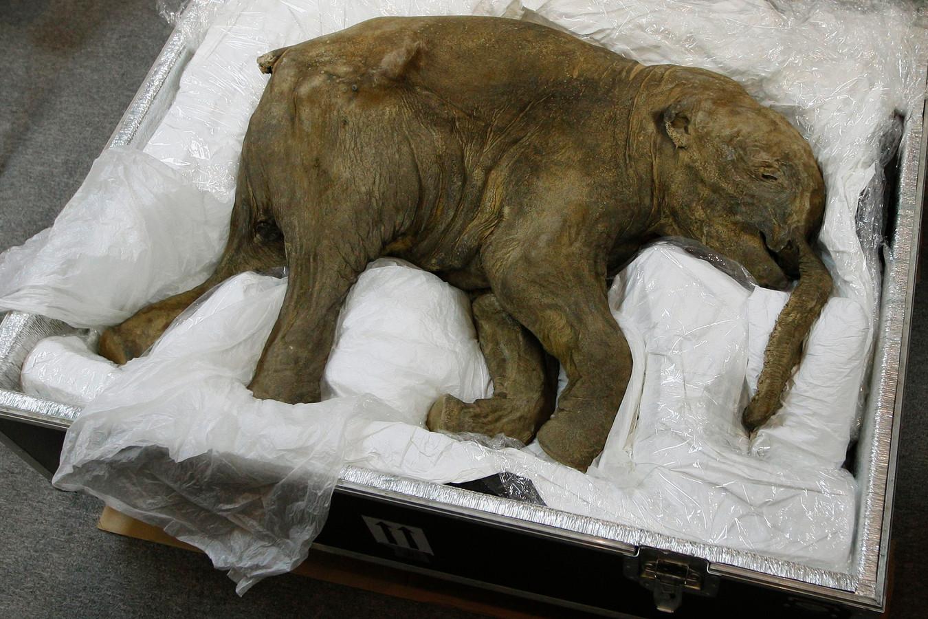 De mummie van een mammoetjong, eveneens gevonden in de Russische permafrost.