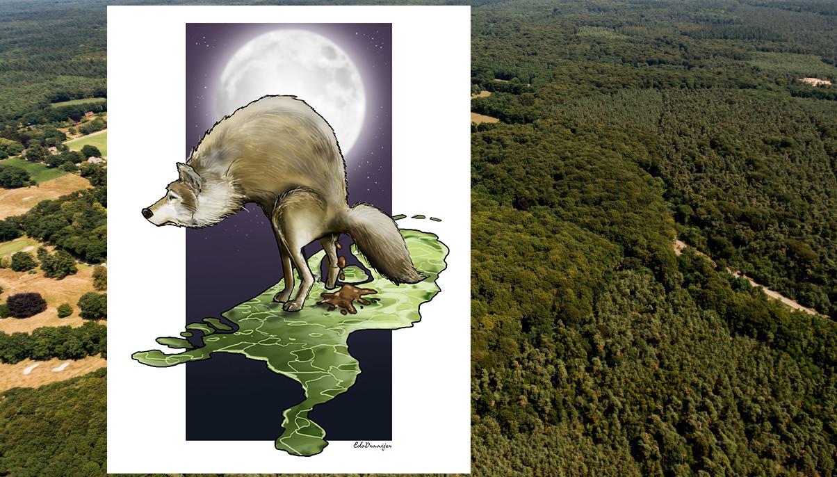 Wolf op de Veluwe: het dier markeert zijn territorium met drollen.