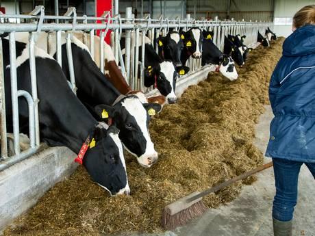 Melkveeboeren willen massaal van hun bedrijf af: 'Het is een emotionele keuze'