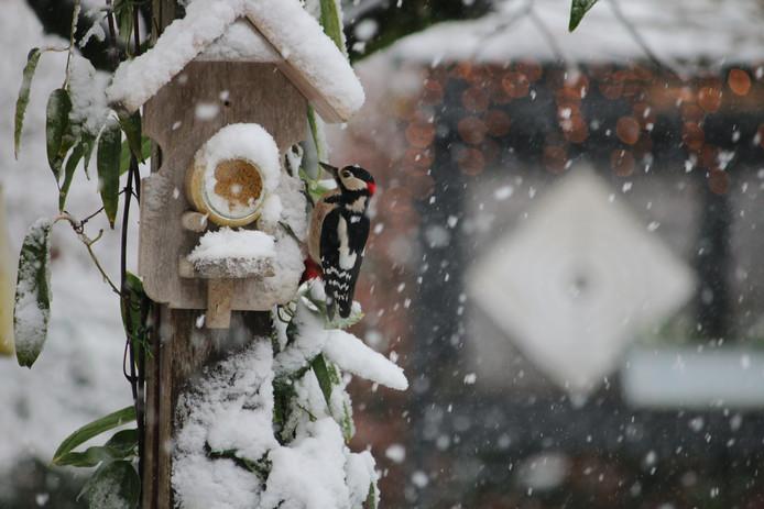 Een mooie bonte specht kwam in Esbeek op zoek naar voedsel langs bij de vogelpindapot.