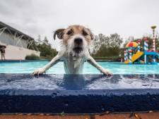 Zwembad in Rheden sluit goed seizoen af met het hondenzwemmen