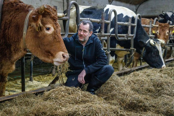 Koe Hermien en Bert Hollander. Met Hermien gaat het prima, zegt Hollander, beheerder van het  koeienrusthuis in het Friese Zandhuizen.