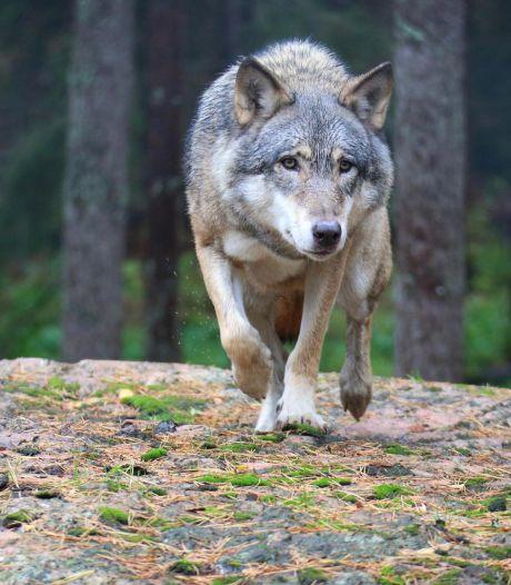 Doit-on craindre le retour du loup?