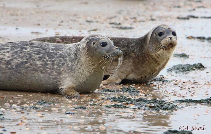 Zeehonden vrijgelaten