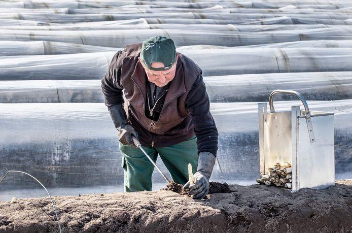 Op de aspergevelden van Berns worden de eerste asperges van dit nieuwe seizoen gestoken.