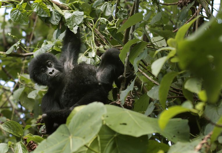 Een babygorilla in de bomen van het Virunga-park.