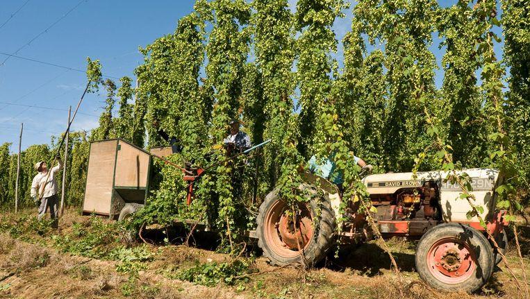 Het oogsten van hop, hier in het Zuid-Engelse graafschap East Sussex Beeld Getty Images