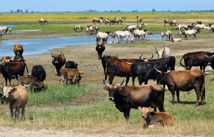 Heckrunderen (voorgrond) en konikspaarden.
