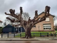 Iconische boom dreigt te verdwijnen uit Hengelo: 'Onbegrijpelijk, van grote historische waarde'