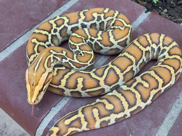 Deze python met de naam 'Shorty' was een de drie slangen die in de zak zaten.