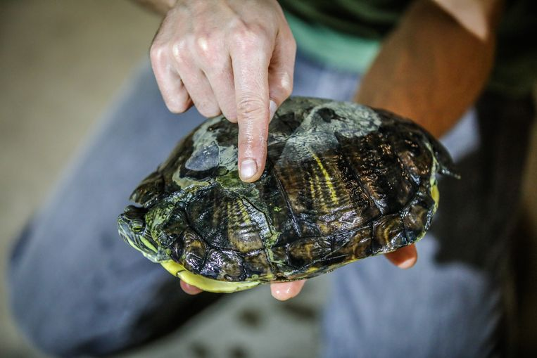 De geelwangschildpad die in de filter van het waterzuiveringsstation terecht kwam, liep breuken op in zijn schild.