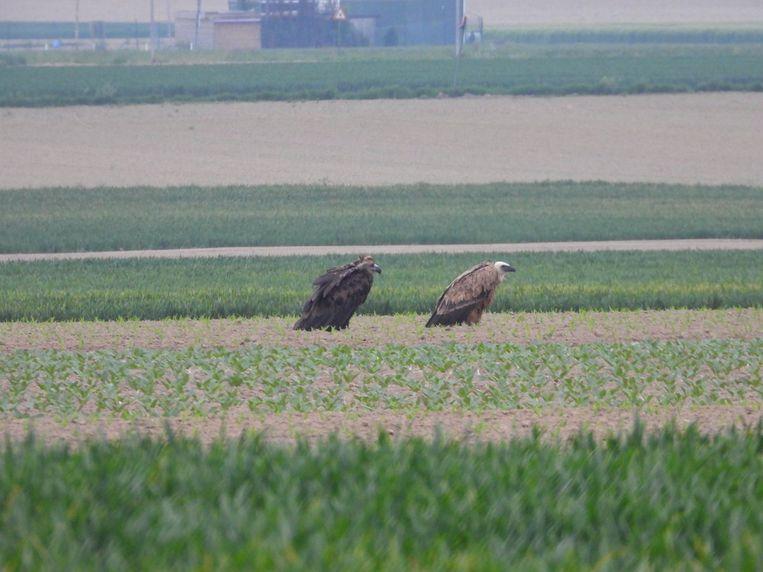 De twee gieren in een veld in Bilzen.