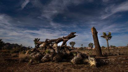 """""""Joshua Tree National Park kan tot 300 jaar nodig hebben om te herstellen van schade door shutdown"""""""