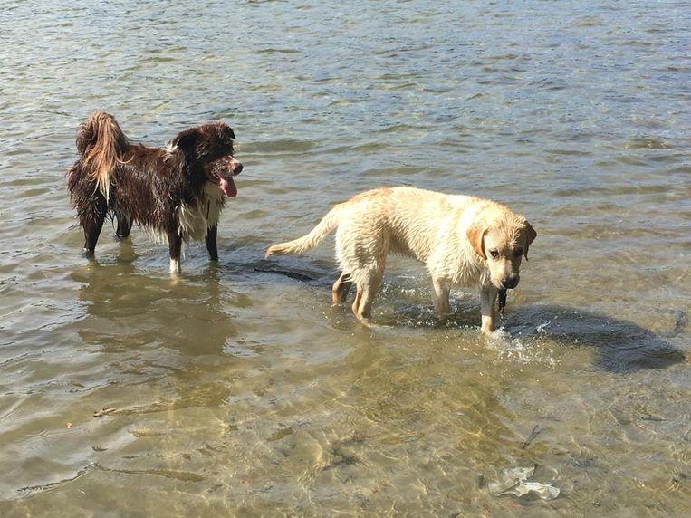 Tuban (links) en Netteke werden zondag het slachtoffer van een dierenbeul. De honden aten vermoedelijk vergif tijdens een wandeling en stierven amper tien minuten later.