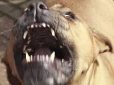 Politie zoekt getuigen van aanval door loslopende honden in Zoutelande: 'We hebben gerend voor ons leven'