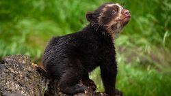 Schattig: babybrilbeer van Zoo Antwerpen ontdekt voor het eerst het buitenleven