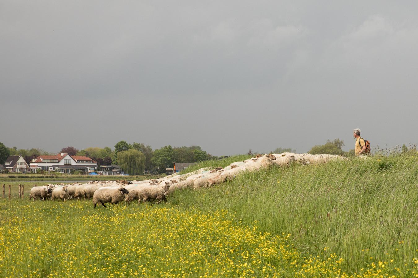 Een schaapskudde langs de Eem tussen Baarn en Soest. Eigen schapen is ook een ideaal van de Herenboeren Soest.