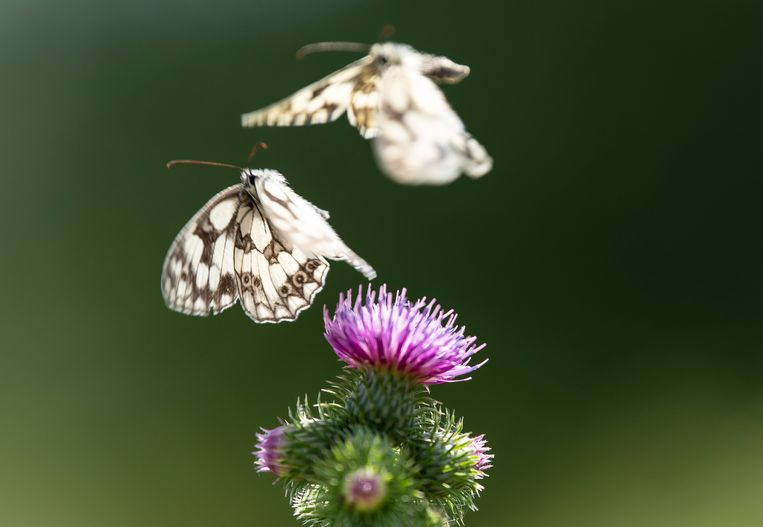 Twee vlindertjes bij een distelbloem.