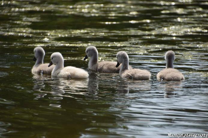 De drie weken oude kuikens in park Tilburg