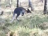 Agenten stomverbaasd: loslopende kangoeroe in bos Limburg