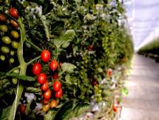 Inbrekers stelen duizenden kratten, zo'n 50.000 euro schade voor tomatenkweker