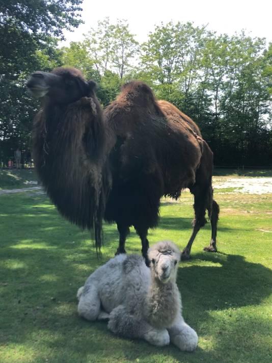 Moeder Mosi en het pasgeboren kameeltje.