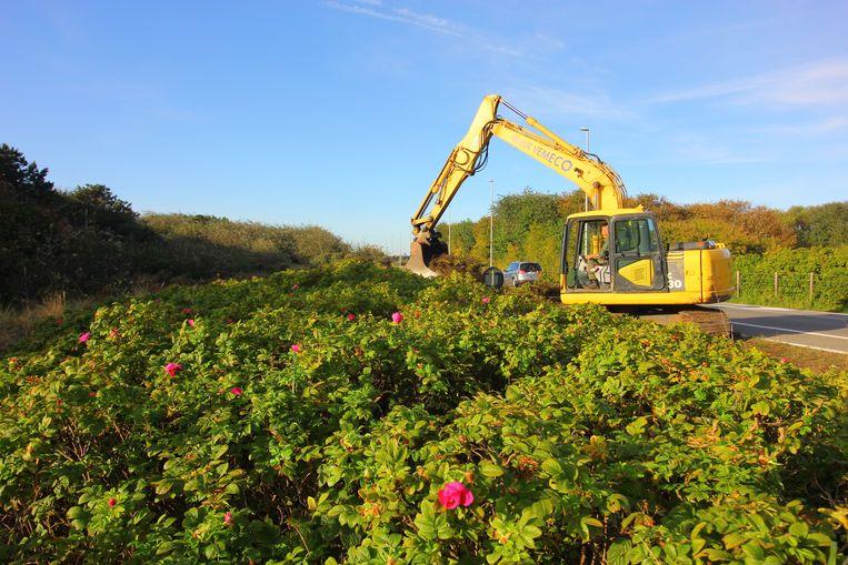Zes hectare duinengebied wordt exotenvrij gemaakt.