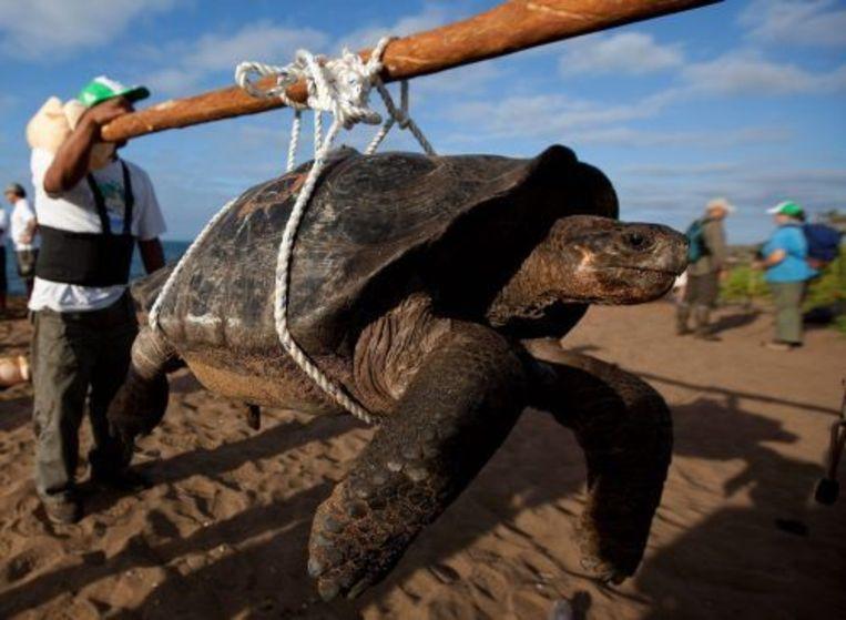 Een Galapagosschildpad wordt verplaatst naar een ander gebied in het kader van een broedprogramma. ANP Beeld