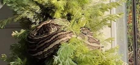 Elle découvre un gros serpent dans son sapin de Noël