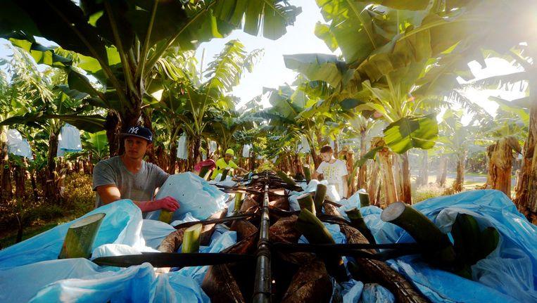 Bananenplukkers op een plantage in Australië Beeld getty