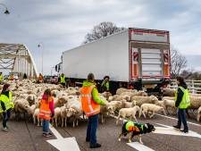 Waar is nog gras voor de Deventer schapen?