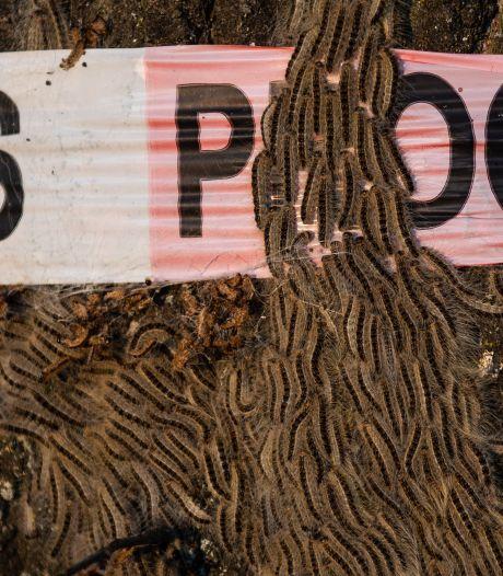 Honderden meldingen in Twente over eikenprocessierupsen: 'Overlast minstens zo erg als vorig jaar'