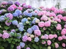 Met deze bloemen en planten in de tuin beperk je hooikoorts