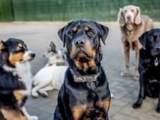 Golf aan puppykopers: wie zorgt er straks voor Fikkie als de baas weer weg is?
