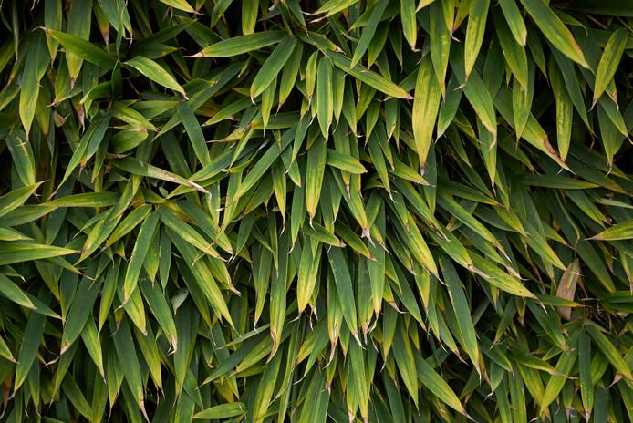Niet elke bamboesoort is even geschikt voor een haag.
