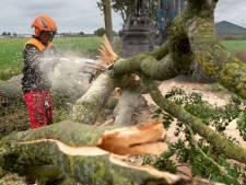 Essentaksterfte houdt huis onder 20 procent van de bomen in Maasdriel