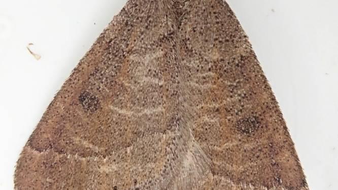 Uitzonderlijke nachtvlinder gespot in Zwin