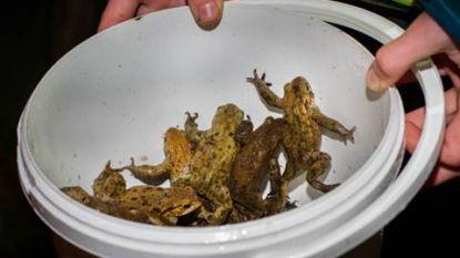 Enkele dagen na paddenoverzet: 'Padden, kikkers en salamanders dood door ruimingswerken'