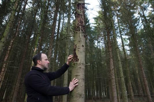Bosbouwer Pieter Westerhof tussen de dode en zwaar aangetaste fijnsparren in een bos bij het Achterhoekse Wehl.