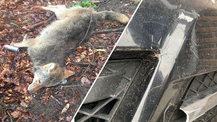 Links de dode wolf in het bos en rechts de haren van het dier aan de motorkap van de auto.