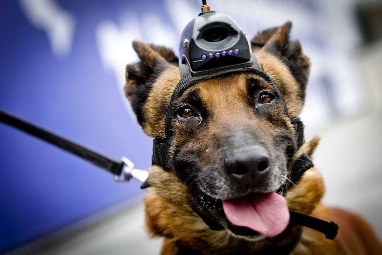 Politiehond tijdens zijn training voor de top Beeld ANP
