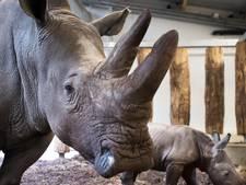 Stukken hoorn van neushoorns onderschept op Schiphol